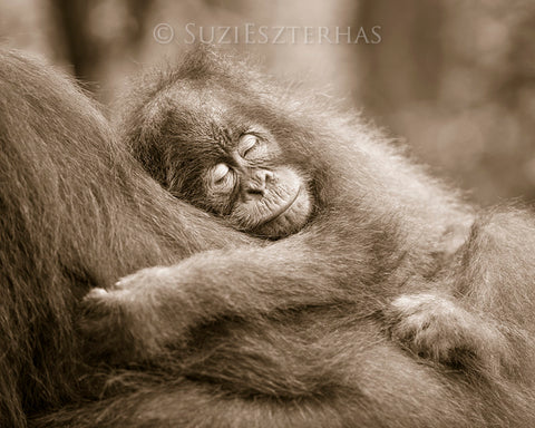sleepy baby orangutan photo sepia