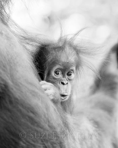 cute baby orangutan black and white