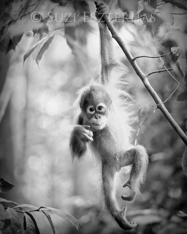 Baby monkey black and white photos over crib · baby orangutan black and white