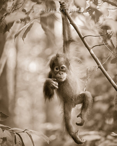cute baby orangutan photo sepia