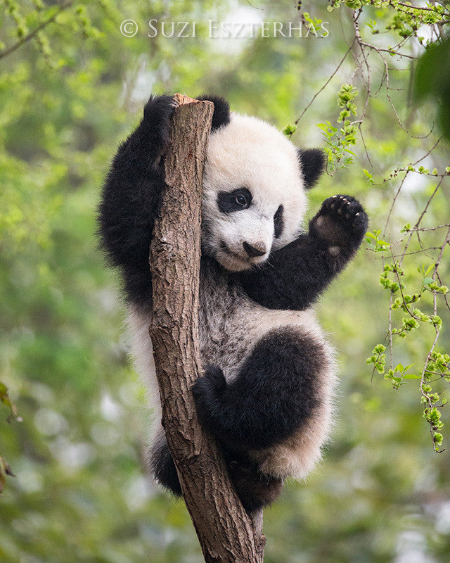 panda cub in tree photo