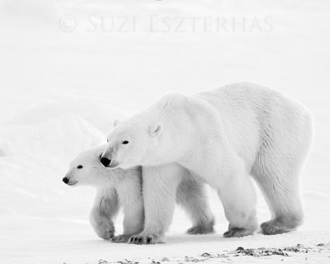 mom and baby polar bear black and white