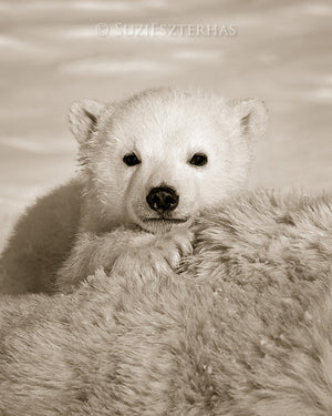 cute baby polar bear photo sepia