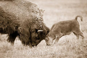 Playful Baby Bison and Mom Photo