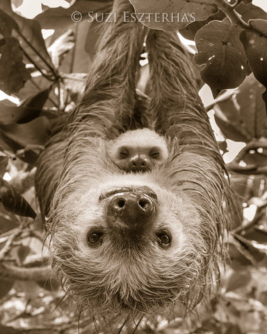 mom and baby sloth sepia photo
