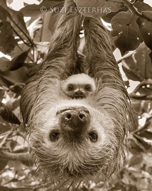 Upside Down Mom and Baby Sloth
