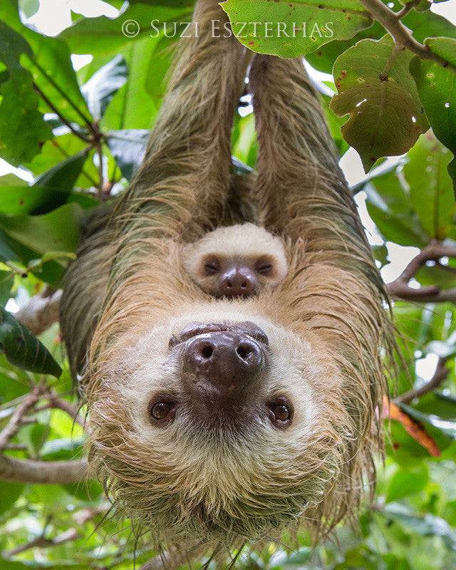 mom and baby sloth photo