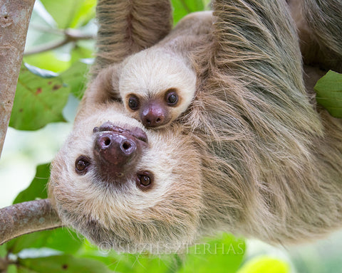 sweet mom and baby sloth photo