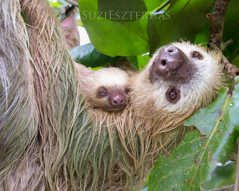 mom and sleepy baby sloth photo