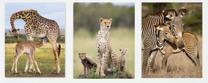 Safari Trio Photo Set (Color)