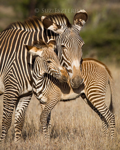mom and baby zebra photo
