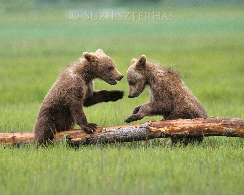 Baby grizzly bears playing - color photo