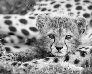 Baby Cheetah Photo