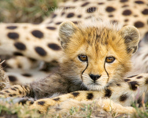 Baby cheetah photo - color