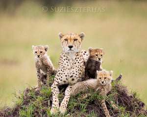 Baby cheetahs and mom - color photograph