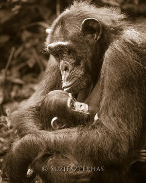 Baby Chimpanzee and Mom Photo