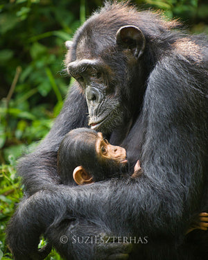 Baby chimpanzee and mom - color photo