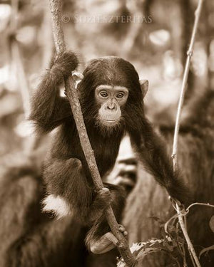 Baby Chimpanzee Photo
