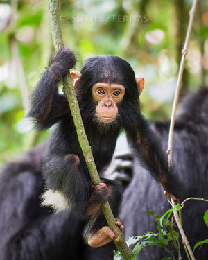 Baby chimpanzee in jungle - color photo