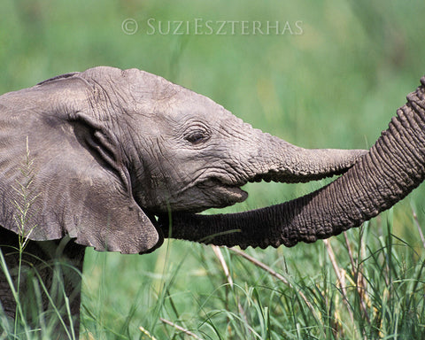 Baby elephant and mom touching trunks - color photo