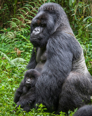 Baby gorilla with dad - color photo