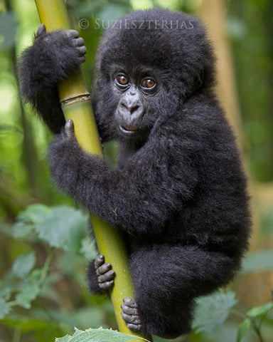 Baby gorilla - color photo