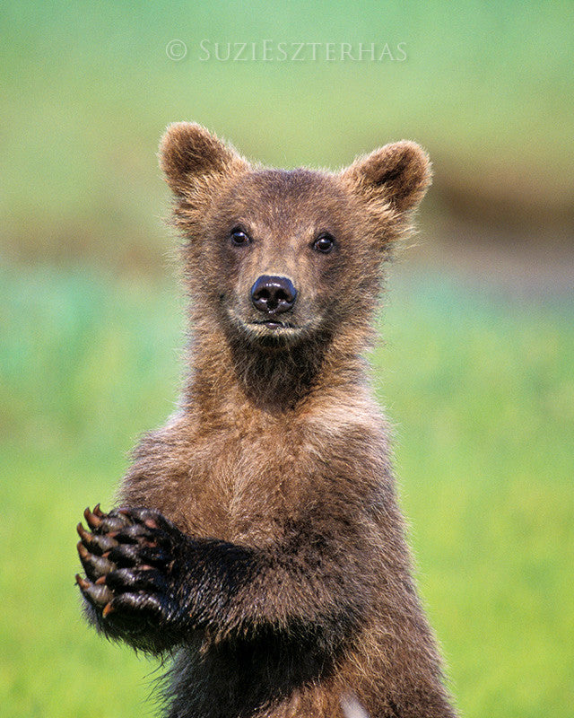 Baby grizzly bear - color photo