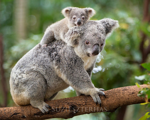 baby koala riding mom - color photo