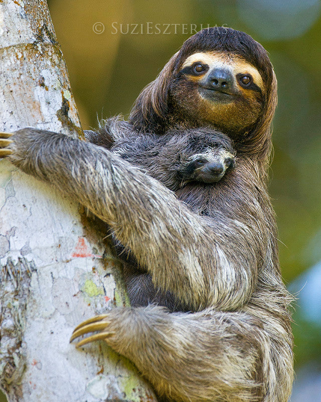 Baby sloth and mom