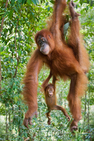 Baby Orangutan and Mom Hanging - color photo