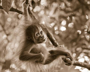 Baby Orangutan Playing Photo