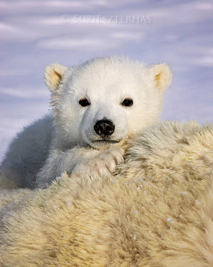 Baby polar bear photo
