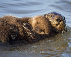 Baby sea otter and mom