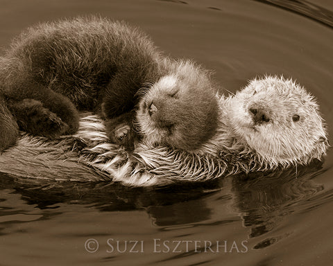 Baby Sea Otter on Mom's Belly Photo (Sepia)