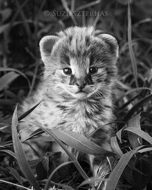 Baby Serval Photo