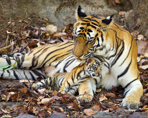 Baby tiger snuggling mom