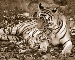 Baby Tiger Snuggling Mom Photo