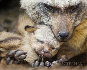 Bat eared fox mom and pup - color photo
