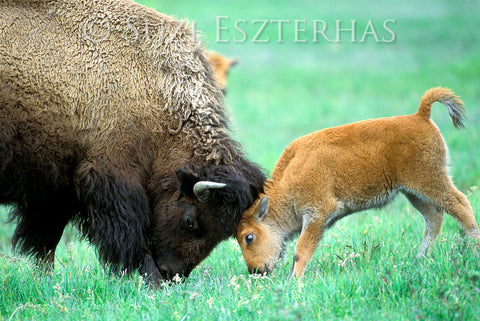 baby bison playing with mom photo
