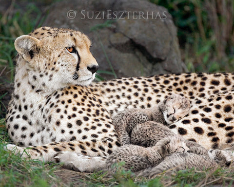 Cheetah mother and newborn cubs -  color photo