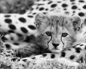 cheetah cub black white