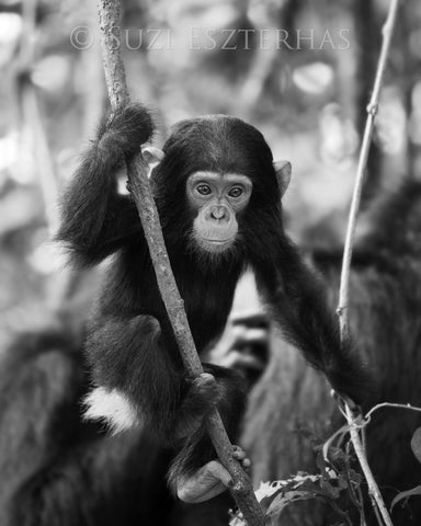chimpanzee baby black and white