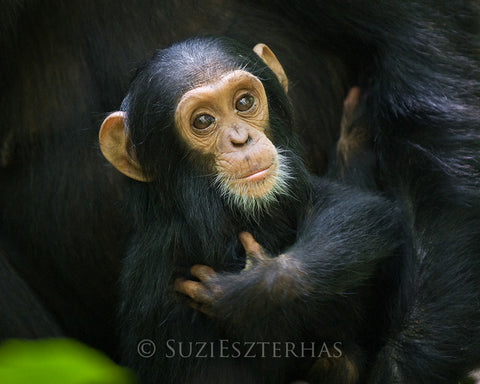 Cuddly baby chimpanzee - color photo
