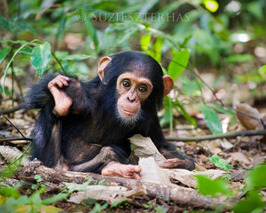 Cute baby chimpanzee - color