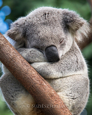 Cute koala sleeping in a tree - color photo