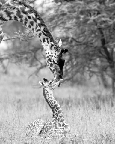 mom and baby giraffe black and white