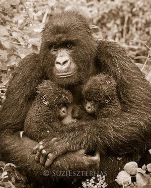 Gorilla and Twin Babies Photo