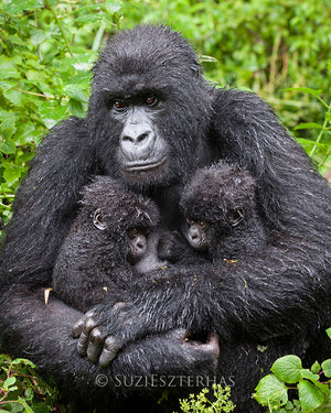 Gorilla and twin babies