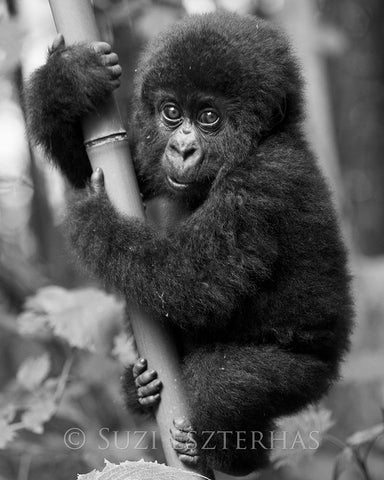gorilla baby black white