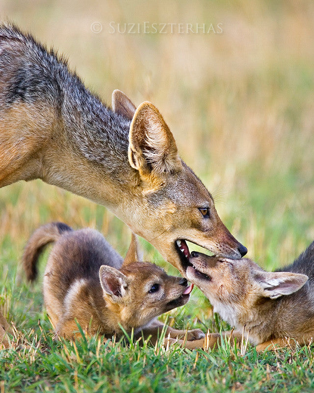 Jackal Dad and Pups Photo